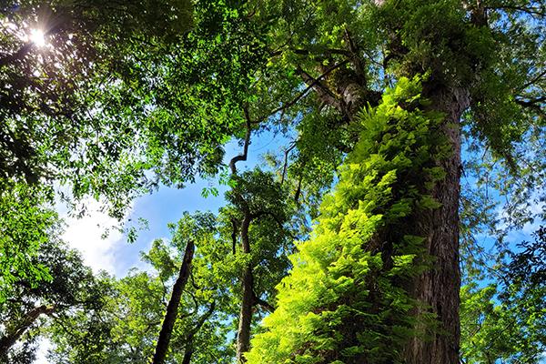 司馬庫斯巨木群步道3