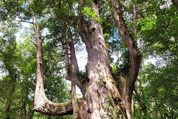 司馬庫斯巨木群步道4
