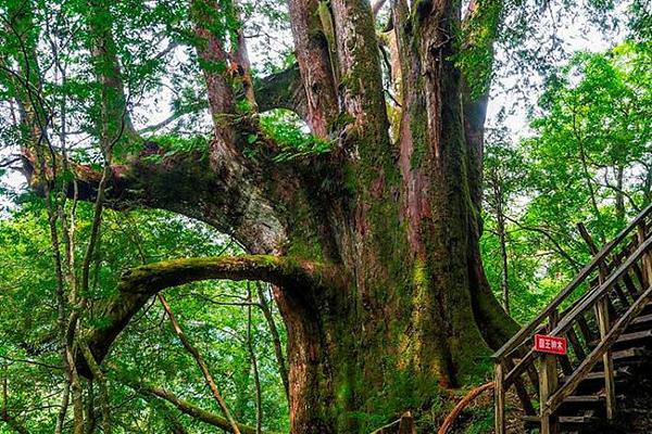 鎮西堡國王神木
